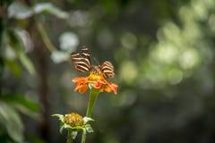 Pares de borboletas dos longwings da zebra em uma flor alaranjada Imagem de Stock