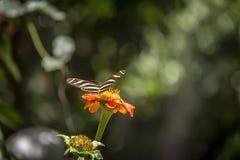 Pares de borboletas dos longwings da zebra em uma flor alaranjada Imagens de Stock Royalty Free