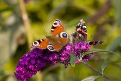 Pares de borboletas em uma flor Fotos de Stock Royalty Free