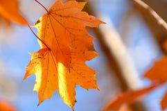 Pares de bordo alaranjado Autumn Leaves no ramo de árvore foto de stock royalty free