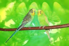 Pares de budgies bonitos que sentam-se no ramo Fundo verde abstrato Foto de Stock