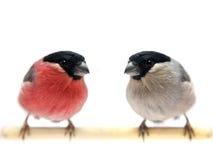Pares de Bullfinch eurasiático Fotografía de archivo