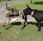 Pares de burros en la nueva lucha de Forest England Imagenes de archivo