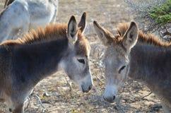 Pares de burros salvajes junto en Aruba Fotos de archivo