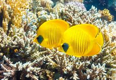 Pares de butterflyfish mascarados em um recife de corais do Mar Vermelho fotos de stock royalty free