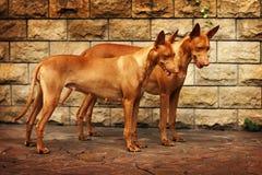 Pares de cães do faraó Fotografia de Stock Royalty Free