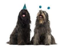 Pares de cães pastor Catalan que vestem chapéus do partido, arfando Fotografia de Stock