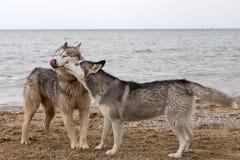 Pares de cães roncos que jogam no beira-mar Imagem de Stock Royalty Free