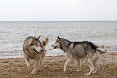 Pares de cães roncos que jogam no beira-mar Fotos de Stock Royalty Free