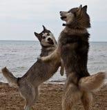 Pares de cães roncos que jogam no beira-mar Fotografia de Stock Royalty Free