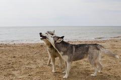 Pares de cães roncos que jogam no beira-mar Foto de Stock