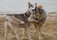 Pares de cães roncos que jogam no beira-mar Imagem de Stock