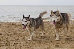 Pares de cães roncos que jogam no beira-mar Fotos de Stock
