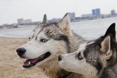 Pares de cães roncos que jogam no beira-mar Imagens de Stock