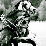 Pares de caballos fotografía de archivo