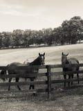 Pares de caballos Foto de archivo libre de regalías