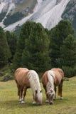 Pares de caballos de la castaña que pastan Fotografía de archivo