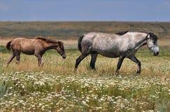 Pares de caballos en un pasto Imagenes de archivo