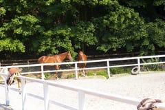 Pares de caballos marrones jovenes El besarse de los caballos Imágenes de archivo libres de regalías