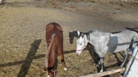 Pares de caballos purebreed jovenes que se colocan en prado y que pastan Rancho o granja en el día soleado claro País rural escén almacen de metraje de vídeo