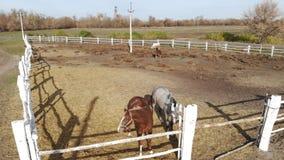 Pares de caballos purebreed jovenes que se colocan en prado y que pastan Rancho o granja en el día soleado claro País rural escén almacen de video