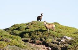 Pares de cabras-montesas selvagens Imagens de Stock