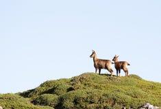 Pares de cabras-montesas selvagens Imagem de Stock Royalty Free