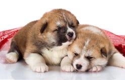 Pares de cachorrinhos de Akita-inu do japonês que encontram-se sobre Imagens de Stock Royalty Free