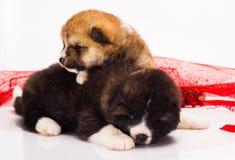 Pares de cachorrinhos de Akita-inu do japonês que encontram-se sobre Fotografia de Stock