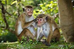 Pares de capo adulto de los macaques Fotografía de archivo