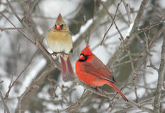 Pares de cardenales norteños Fotografía de archivo libre de regalías
