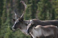 Pares de caribu ao longo da estrada de Alaska Imagens de Stock Royalty Free