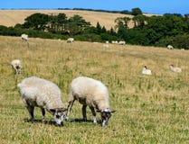 Pares de carneiros Fotografia de Stock