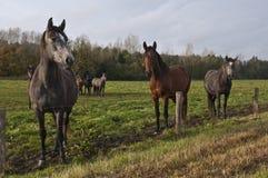 Pares de cavalos Imagem de Stock