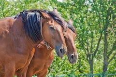 Pares de cavalos de baía Fotografia de Stock Royalty Free