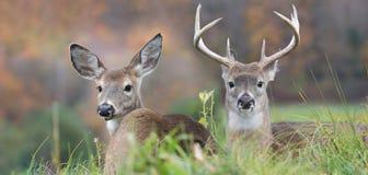 Pares de cervos fotografia de stock
