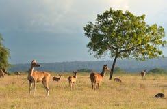 Pares de ciervos en puesta del sol Fotografía de archivo libre de regalías
