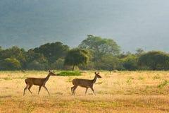 Pares de ciervos en puesta del sol Foto de archivo libre de regalías