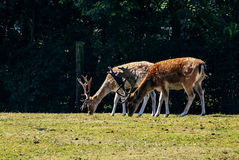 Pares de ciervos masculinos manchados Fotografía de archivo