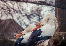 Pares de cigüeñas Imagen de archivo libre de regalías