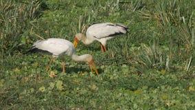 Pares de cigüeñas cargadas en cuenta amarillas que alimentan en reserva del juego de Mara del masai metrajes