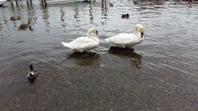 Pares de cisne Foto de archivo libre de regalías