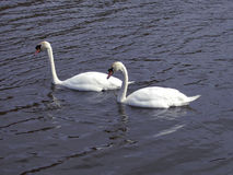 Pares de cisnes Fotografía de archivo libre de regalías
