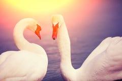 Pares de cisnes Imagenes de archivo