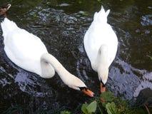 Pares de cisnes Imagem de Stock Royalty Free