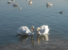 Pares de cisnes Imagen de archivo