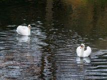 Pares de cisnes Foto de Stock Royalty Free