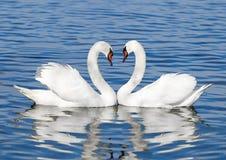 Pares de cisnes blancos Fotografía de archivo