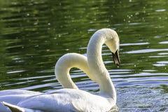 Pares de cisnes blancos antes de acoplar foto de archivo libre de regalías