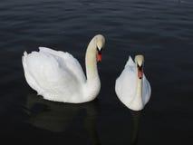 Pares de cisnes blancos en el lago Imagenes de archivo
